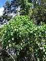 Starr 070111-3281 Ipomoea alba.jpg