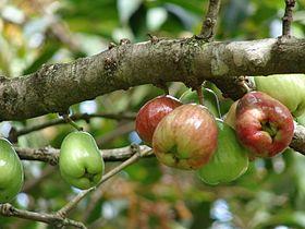 Starr 070321-6134 Syzygium malaccense.jpg