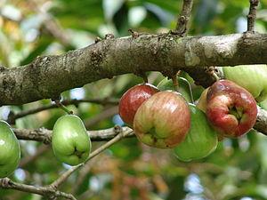 Syzygium malaccense - Image: Starr 070321 6134 Syzygium malaccense