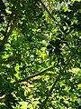 Starr 071024-0130 Schefflera arboricola.jpg