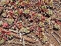 Starr 080415-4009 Polycarpon tetraphyllum.jpg