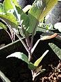 Starr 081031-0426 Brassica oleracea.jpg
