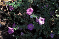 Starr 980529-4254 Petunia x hybrida.jpg