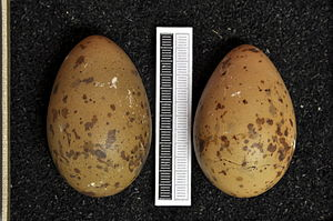Long-tailed jaeger - Eggs, Collection Museum Wiesbaden