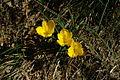 Sternbergia lutea pn3.JPG