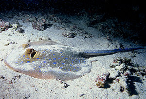 Demersal fish - Bluespotted ribbontail ray resting on the seafloor