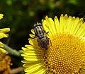 Stomorhina lunata, Locust Blowfly. Calliphoridae (36143491654).jpg