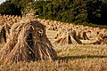 Stooks of barley in West Somerset.jpg