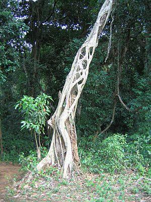 Strangler fig - Image: Strangler tree