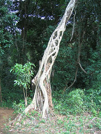 Strangler fig - Image: Strangler tree