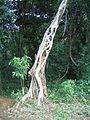 Strangler tree.jpg