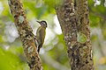 Streak-throated Woodpecker DSC2043.jpg