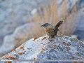 Streaked Laughingthrush (Trochalopteron lineatum) (32735656888).jpg
