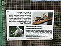 Streptopelia risoria - Tourterelle rieuse - يمام ضحوك - ringed turtle dove.jpg