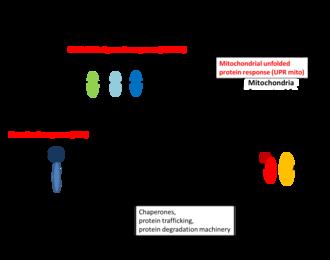Proteostasis - Proteostasis stress signaling response