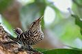Stripe-backed Wren - Cucarachero Chocorocoy (Campylorhynchus nuchalis brevipennis) (14013752974).jpg