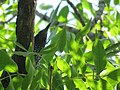 Sturnus vulgaris, Nis, Serbia 05.jpg
