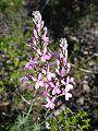 Stylidium brunonianum flower1.jpg