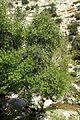 Styrax officinalis kz2.jpg