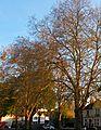 Sutton Green trees, SUTTON, Surrey, Greater London.jpg