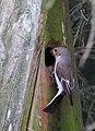 Svartvit Flugsnappare Pied Flycatcher (14517133751).jpg