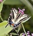 Swallowtail (3830905571).jpg