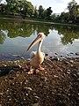 Swan inside Jala khal zoo.jpg