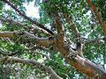 Sycamore Fig (Ficus sycomorus) (6035505213).jpg