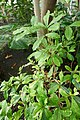 Synsepalum dulcificum-Jardin botanique de Berlin (4).jpg
