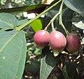 Syzygium Munronii 21.JPG