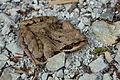 Türnitz - Naturdenkmal LF-062 - Falkenschlucht 07 - Frosch.jpg