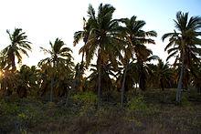 Un boschetto di cocco sull'isola Juan de Nova.