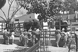 Tel Aviv Zoo - Elephants in Tel Aviv Zoo, 1950