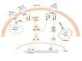 TLR Signaling pathway.tif