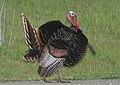 TURKEY, WILD (3-20-09) canet rd -02 (3370067357).jpg