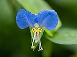 Tagblume Commelina communis stack25 2019-08-05-RM-8050218-PSD.jpg
