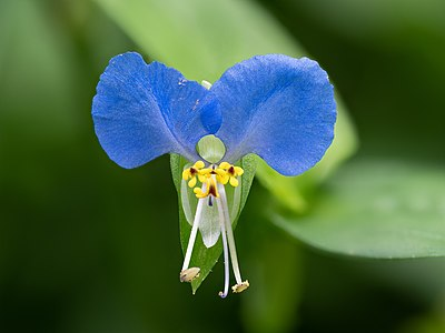 Flower of a dayflower (Commelina communis). Stacked with Helicon Focus from 25 frames