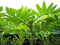 Tagetes-grow5.jpg