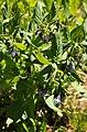 Tall Bluebells (8540939290).jpg