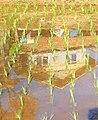 Tanaman padi di sawah.jpg