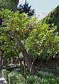 Taronger al jardí de la casa Benlliure.JPG