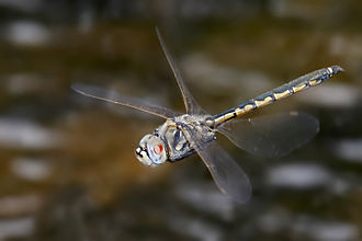 Insect flight - A tau emerald (Hemicordulia tau) dragonfly has flight muscles attached directly to its wings.