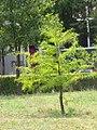 Taxodium distichum - Močvarni čepres (311).jpg
