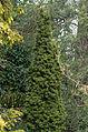 Taxus Baccata 'Fastigiata Aurea'.jpg