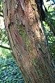 Taxus cuspidata kz01.jpg