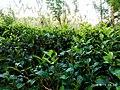 Tea state in Srilanka.jpg