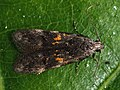 Teleiodes flavimaculella - Chestnut groundling (40864835722).jpg