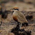 Temminck's courser, Cursorius temminckii, at Pilanesberg National Park, Northwest Province, South Africa. (44972214391).jpg