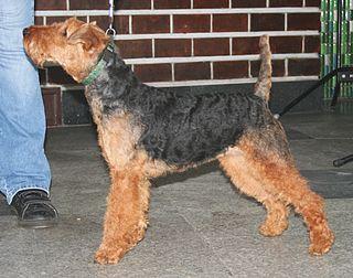 Welsh Terrier Dog breed