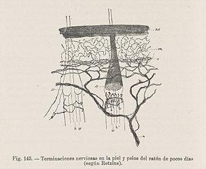 Terminaciones nerviosas en la piel y pelos del raton Wellcome L0040802.jpg
